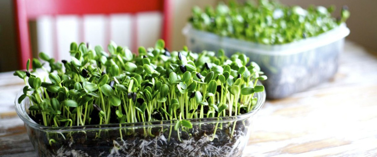 Growing Food Indoors, Vegetables for Homes & Apartments