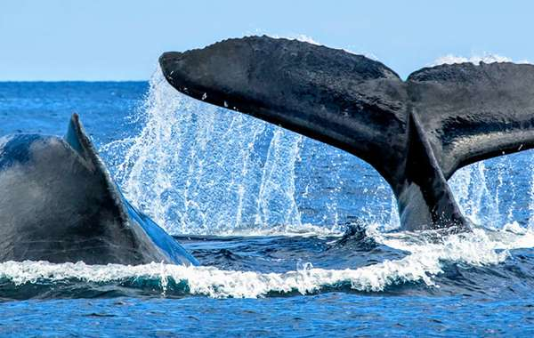 Carbon Offset Schemes - Whale Poop leads Nature's Own Way