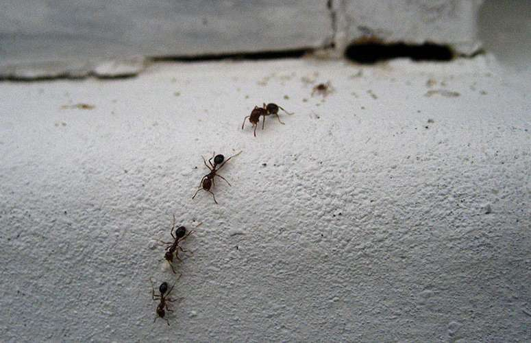 Carpenter ants are a common pest and nuisance to get rid of in homes