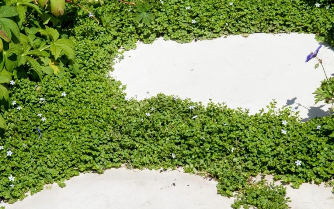 corsican mint Mentha requienii is a low maintenance alternative ground cover plant