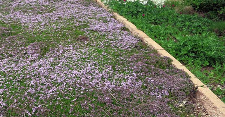 Thym or other low creeping herbs make great ground cover instead of a traditional lawn