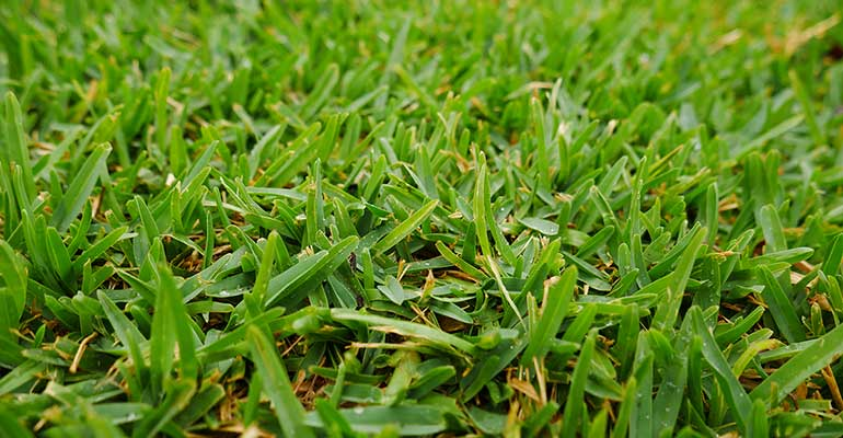 Buffalo grass can be specified as an eco-friendly lawn
