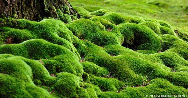 moss, the english lawns' enemy, can be used for interesting effect