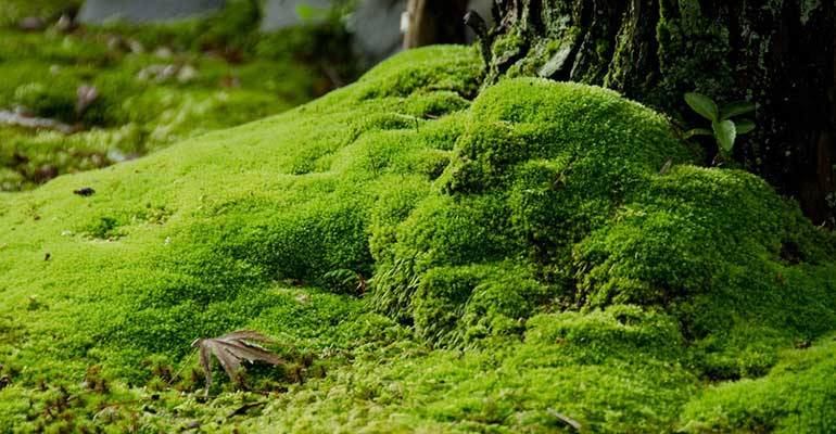 moss can clump or crawl - ideal for shaded lawn areas
