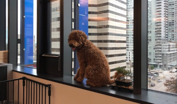 J:\Images\For Optimizing\Life Hack Amazon Video Images\Rufus_on_his_favorite_windowsill_looking_out_over_Seattle_in_Amazon_Head_Office
