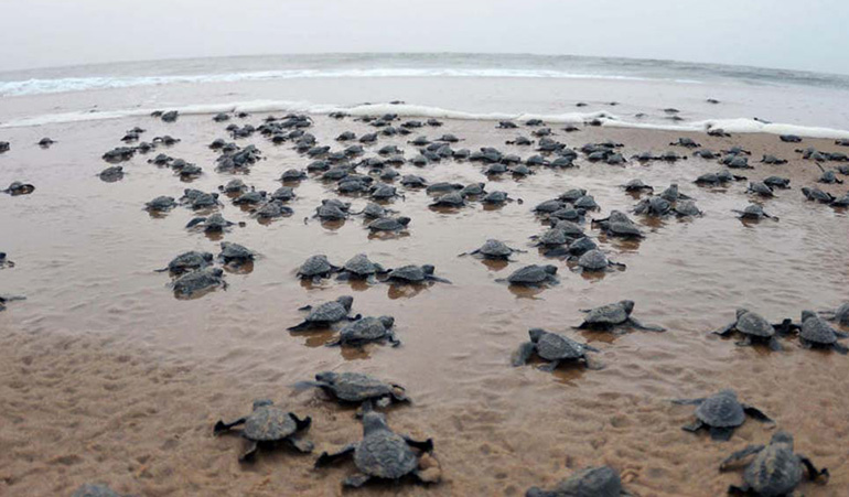 Sea turtles nesting on empty beaches due to stay at home legislation